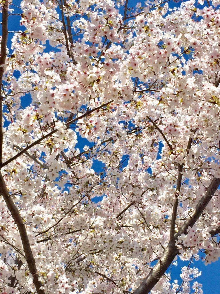 東尾道,花見,桜